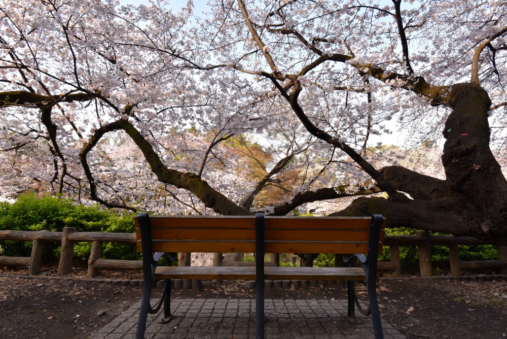 Bench under SAKURA tree2