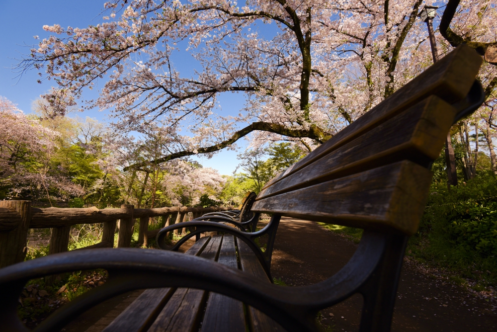 Bench under SAKURA trees